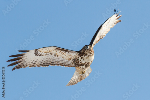 Photo  Red-Tailed Hawk In Flight With a Clear Blue Sky