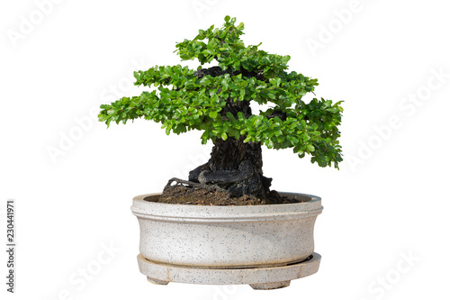 Bonsai tree isolated on white background. Its shrub is grown in a pot or ornamental tree in the garden.
