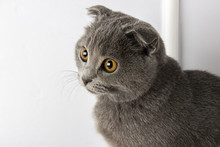 Gray Scottish Fold Cat On A Wh...