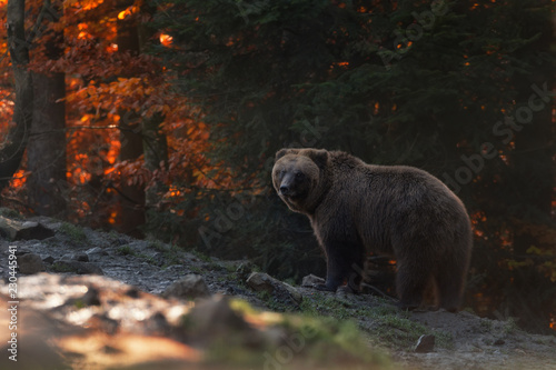 Photo  Big Brown Bear Stands In The Background Of The Autumn Beech