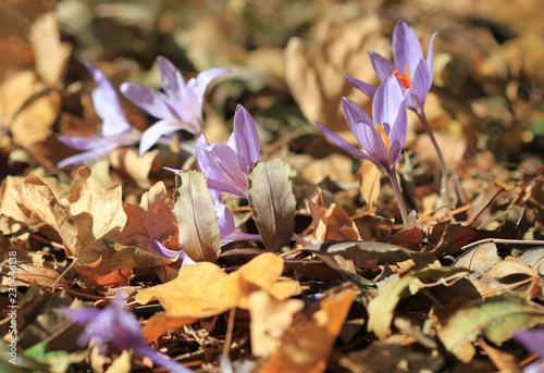Deurstickers Krokussen Цветущие крокусы на поляне