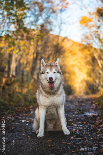 Photo  Portrait of adorable gorgeous Siberian Husky dog sitting in the bright enchantin