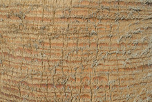 Close Up Of Palm Tree Background. Coco Palm Detail Bark Texture