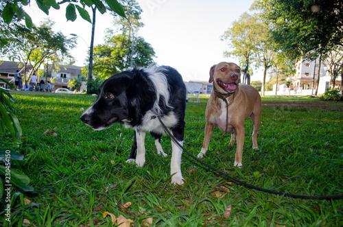 Foto  Cachorro collie