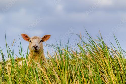 Schaf im Strandhafer auf dem Deich Fototapete