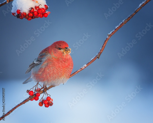 Photo  Male Pine grosbeak (Pinicola enucleator) feeding on frozen rowan berries