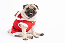 Cute Dog Pug Breed In Red Sant...