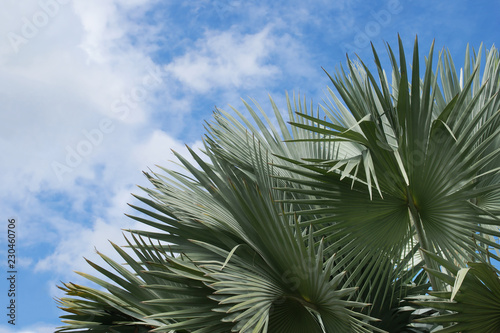 Exotic Tropical Palm Tree on Blue Sky Background