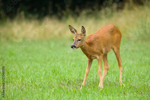 Spoed Foto op Canvas Ree Roe deer in field