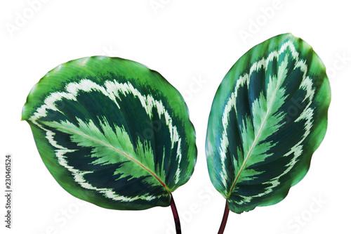 Fotografie, Obraz  Decorative Foliage Leaves of Calathea Medallion Plant Isolated on White Backgrou