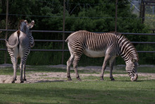 Two Zebras Grazing Grass In A Field Outdoor With Fence And Trees In The Background, One Full Side View, One Full Back View