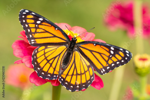 beautiful Viceroy butterfly on a hot pink Zinnia flower in a fall garden