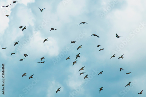Fotografía  natural  with a large flock of black birds migrating starlings flies on blue sky
