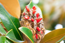 Ripe Fruit Of Magnolia Grandiflora With Its Seeds
