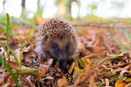 Photographie Hedgehog, wild, native, European hedgehog in colourful Autumn or Fall natural habitat with gold leaves