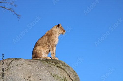 Poster Puma Löwe - Wache auf Fels