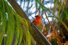 Cardinal Rouge De L'océan Indien