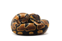 Ball Python Isolated On White ...