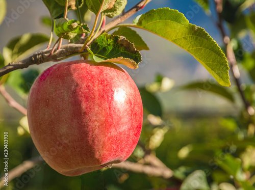 ripe pink lady apple variety on a apple tree at South Tyrol in Italy. Harvest time