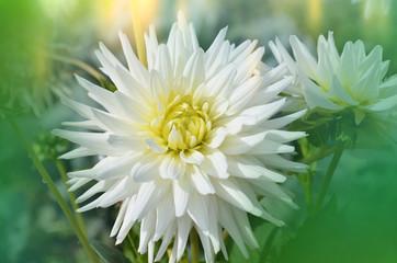 Dahlia cactus flower in the garden close up