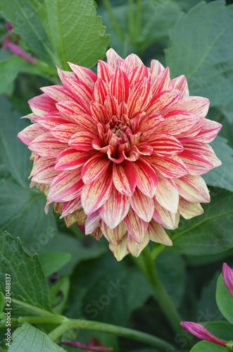 In de dag Dahlia Decorative dahlia Pippi
