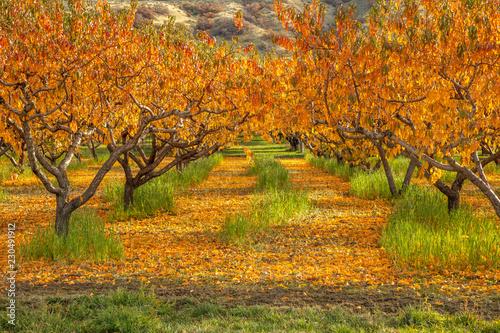 Fotografía Apple orchard in autumn with orange fallen leaves