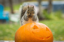 Squirrel Eating A Carved Halloween Pumpkin