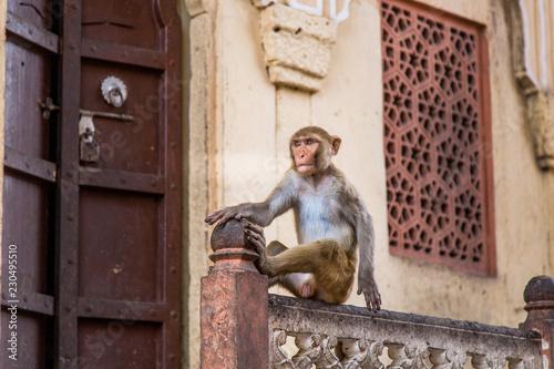 Foto op Canvas Aap Singe en ville au Rajasthan en Inde Bâtiment