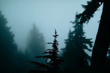Trees In A Forest On A Foggy Day