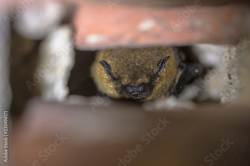 Hibernating pipistrelle bat