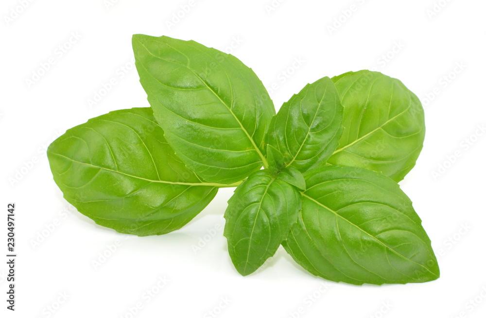 Fototapeta liść bazylii
