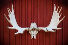 Elk Skull And Antlers Mounted ...