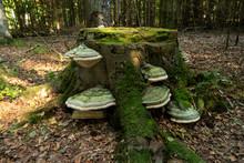 Baumpilze Auf Einem Baumstupf Im Darßwald