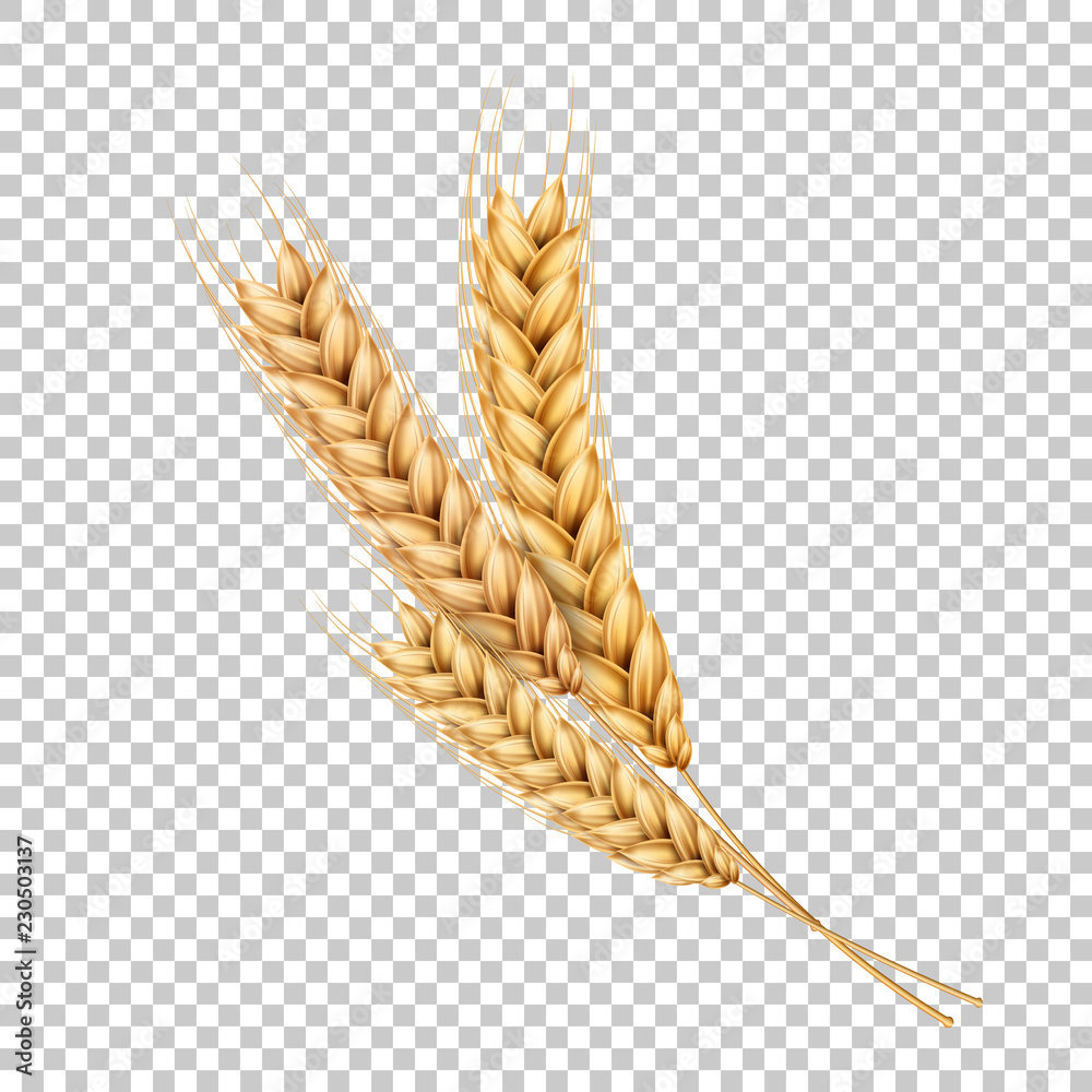 Fototapety, obrazy: Vector wheat ears spikelets realistic with grains