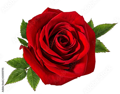 Fresh beautiful rose isolated on white background with clipping path Canvas Print