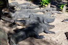 A Group Of Alligators Gather N...