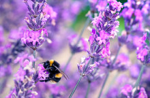 Bee Pollinating Herbal Lavende...