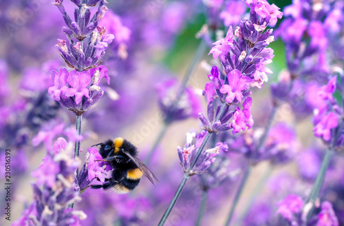 Bee pollinating herbal lavender flowers in a field.  England, UK Wallpaper Mural