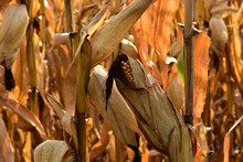 Ripe Corn In Field Ready For H...