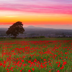 FototapetaBeautiful red poppies field landscape with colorful sunset sky