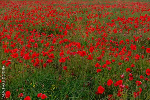 Fotobehang Cultuur Beautiful red poppies field landscape in Scotland