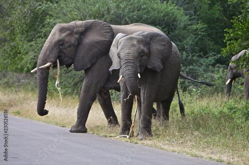 Canvas Prints Elephant African Elephant's