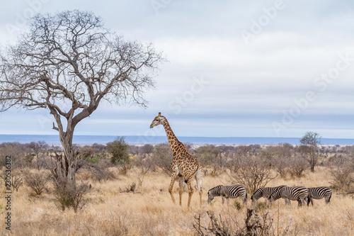 Staande foto Giraffe Giraffe in Kruger National park, South Africa
