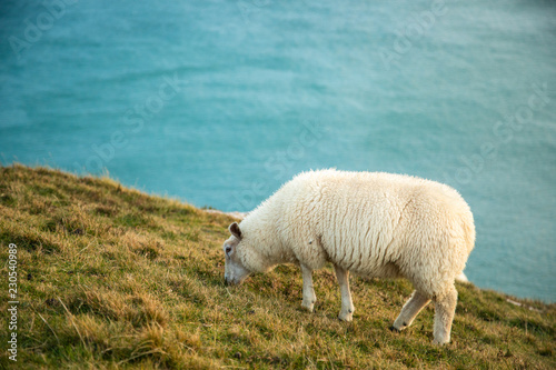 In de dag Schapen Irish Sheep in Slea Head, Dingle Circle, Ireland