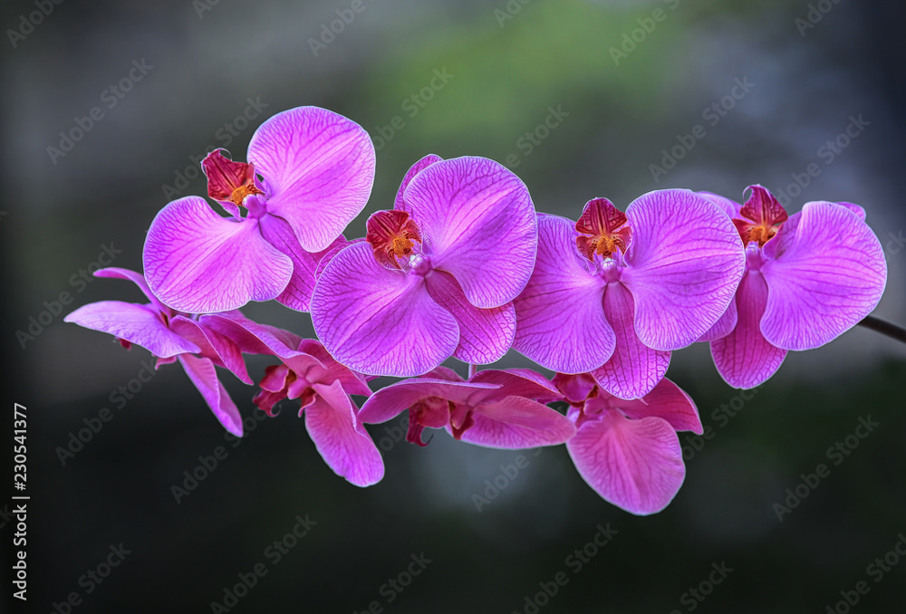 Beautiful purple orchid tropical flower of Thailand