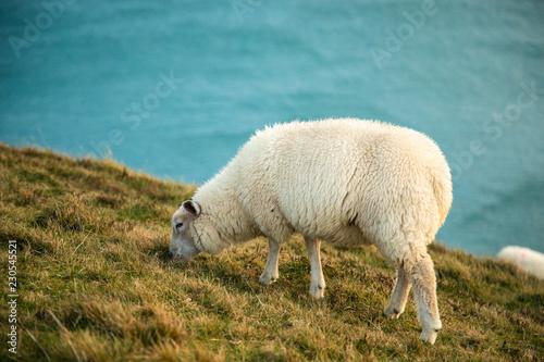 Irish Sheep in Slea Head, Dingle Circle, Ireland