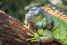 A Green Smiling Big Iguana Is ...