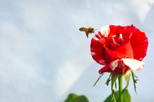 The Bee Flying At Red Mixes Wh...