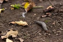 Limax Maximus - Leopard Slug C...