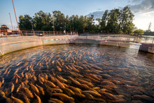Farm For Breeding Trout